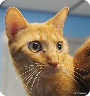 Domestic Shorthair Cat for adoption in Lincolnton, North Carolina - Leggs