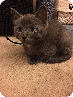 Russian Blue Kitten for adoption in Jackson, New Jersey - Logan