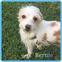 Adopt A Pet :: Bernie - Hollywood, FL