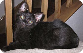 Domestic Shorthair Kitten for adoption in Winchester, California - Black Cats Galore