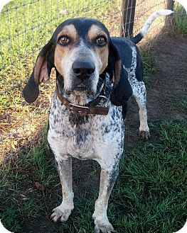 Bluetick Coonhound Mix Dog for adoption in Orange Lake, Florida - Bryant