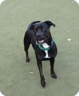 Labrador Retriever/Rottweiler Mix Dog for adoption in San Francisco, California - Angel