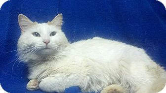 Maine Coon Cat for adoption in East Hanover, New Jersey - Freddy
