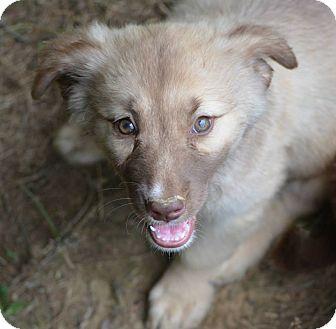 Border Collie/Australian Shepherd Mix Puppy for adoption in New Boston, New Hampshire - Brenda