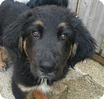 Bernese mountain dog german shepherd mix - photo#25
