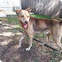 Adopt A Pet :: Big Dog - San Antonio, TX