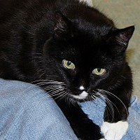 Domestic Shorthair Cat for adoption in Bonita Springs, Florida - Betsy