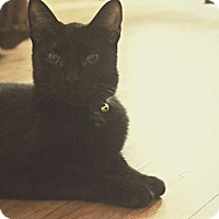 Domestic Shorthair Cat for adoption in Greensboro, Georgia - Chen