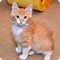 Adopt A Pet :: Cheddar Cheese Puff - Davis, CA