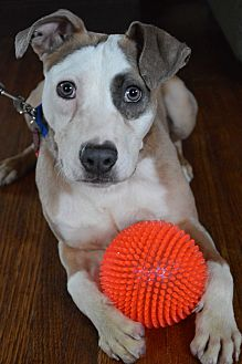 Terrier (Unknown Type, Medium)/Whippet Mix Dog for adoption in Toledo, Ohio - Gumbo