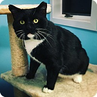 Domestic Shorthair Cat for adoption in Newtown, Connecticut - Barry Lyndon