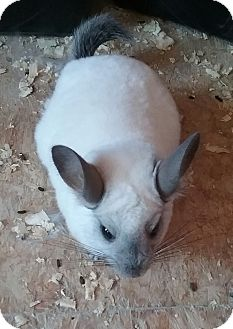 Chinchilla for adoption in Granby, Connecticut - Snowball