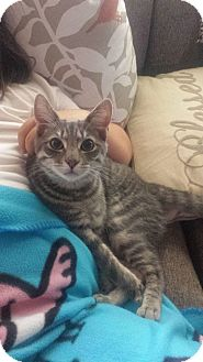 Domestic Shorthair Cat for adoption in Bensalem, Pennsylvania - Goober