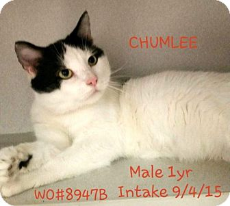 Domestic Shorthair Cat for adoption in Fayetteville, West Virginia - Chumlee