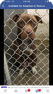 American Pit Bull Terrier Mix Dog for adoption in Zanesville, Ohio - Coco - ADOPTED!