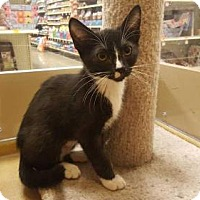 Domestic Shorthair Cat for adoption in Vacaville, California - Stella