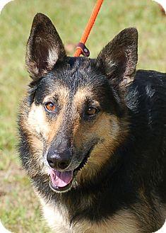 German Shepherd Dog Dog for adoption in Preston, Connecticut - Winnie AD 11-18-16