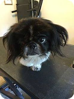 Pekingese Dog for adoption in Ft. Lauderdale, Florida - Brody (Bratzilla)