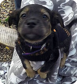 Shepherd (Unknown Type) Mix Puppy for adoption in Detroit, Michigan - Persimmon-Adopted!