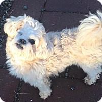 Shih Tzu/Poodle (Miniature) Mix Dog for adoption in Spartanburg, South Carolina - Gizmo with Heaven