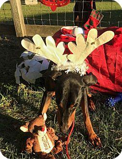 Doberman Pinscher Dog for adoption in Houston, Texas - Allie