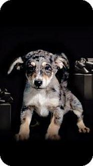 Australian Shepherd/Shepherd (Unknown Type) Mix Puppy for adoption in McKinney, Texas - Nico