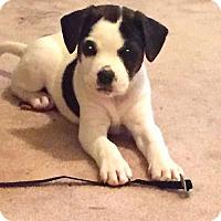 Border Collie/Labrador Retriever Mix Puppy for adoption in Alpharetta, Georgia - Emmalie