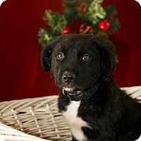 Adopt A Pet :: Dusty - LITTLETON, CO