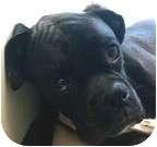 Boxer Dog for adoption in Sunderland, Massachusetts - Jax