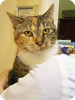 Domestic Shorthair Cat for adoption in Toledo, Ohio - Saria