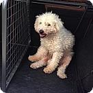 Adopt A Pet :: Snowey