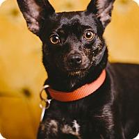 Adopt A Pet :: Mingus - Portland, OR