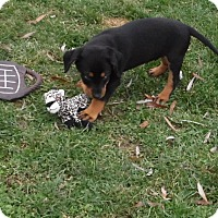 Adopt A Pet :: Codey (cheagle) - mooresville, IN