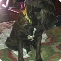 Adopt A Pet :: Daisy - Visalia, CA