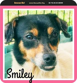 Rat Terrier/Jack Russell Terrier Mix Dog for adoption in Pensacola, Florida - Smiley