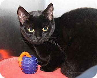 Domestic Shorthair Cat for adoption in Marietta, Ohio - Sassy (Spayed)