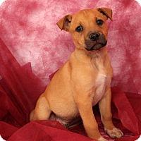 Adopt A Pet :: Timber Labmix - St. Louis, MO