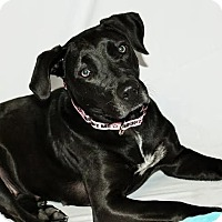 Labrador Retriever Mix Dog for adoption in Detroit, Michigan - Pantera