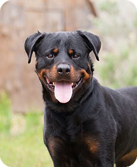 Rottweiler Mix Dog for adoption in Washoe Valley, Nevada - Kayla