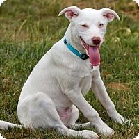 Adopt A Pet :: Van Bellamy - Hagerstown, MD