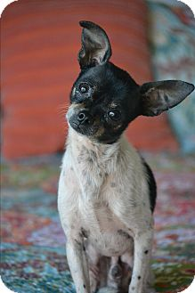 Chihuahua Mix Dog for adoption in Allentown, Virginia - Howie