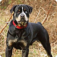 Adopt A Pet :: Balou - Pearland, TX