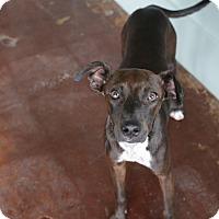 Adopt A Pet :: Diva - San Antonio, TX