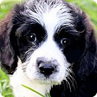 Adopt A Pet :: CHECKERS(OUR MINI-LABRADOODLE - Wakefield, RI