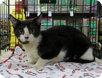 American Shorthair Cat for adoption in Ellicott City, Maryland - .Kansas
