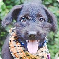 Adopt A Pet :: Alvis - San Ramon, CA