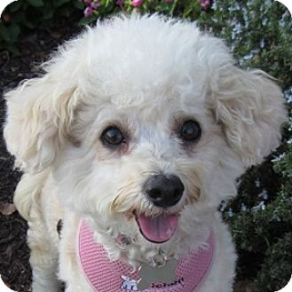 Bichon Frise Mix Dog for adoption in La Costa, California - Sassy