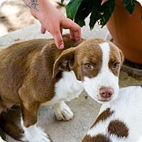 Adopt A Pet :: Paisley - Jacksonville, TX