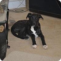 Shepherd (Unknown Type)/Great Dane Mix Dog for adoption in Vista, California - Misti