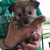 Adopt A Pet :: Kiwi - Centreville, VA
